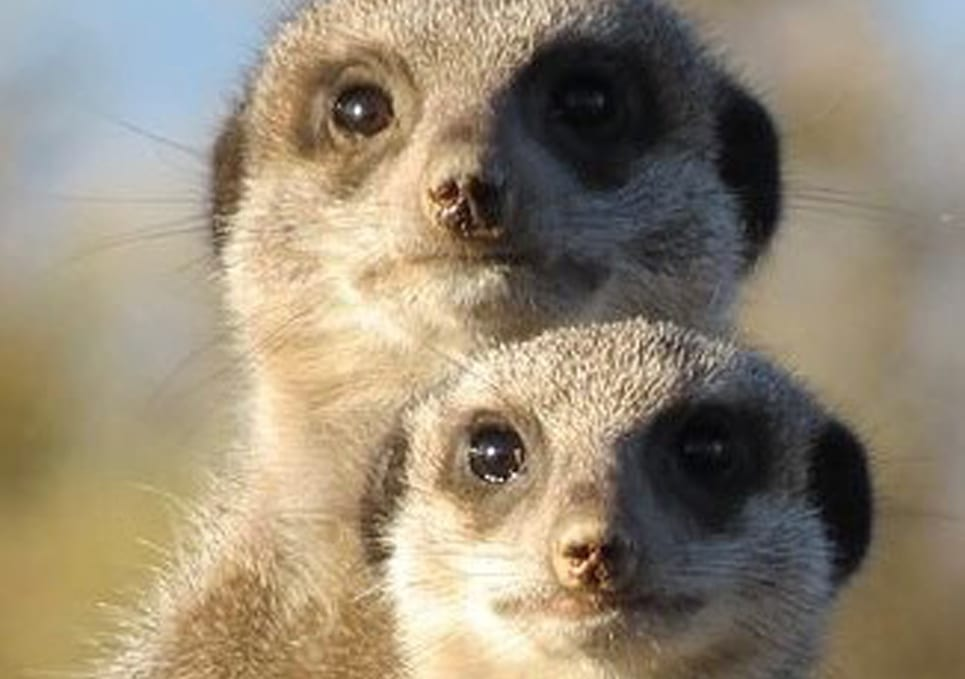 Two meercats standing alert looking directly at the camera.
